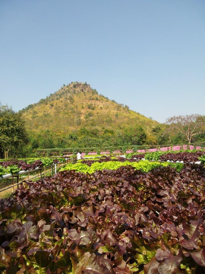Download Grönsak för röd korall fotografering för bildbyråer. Bild av marknad - 37349415