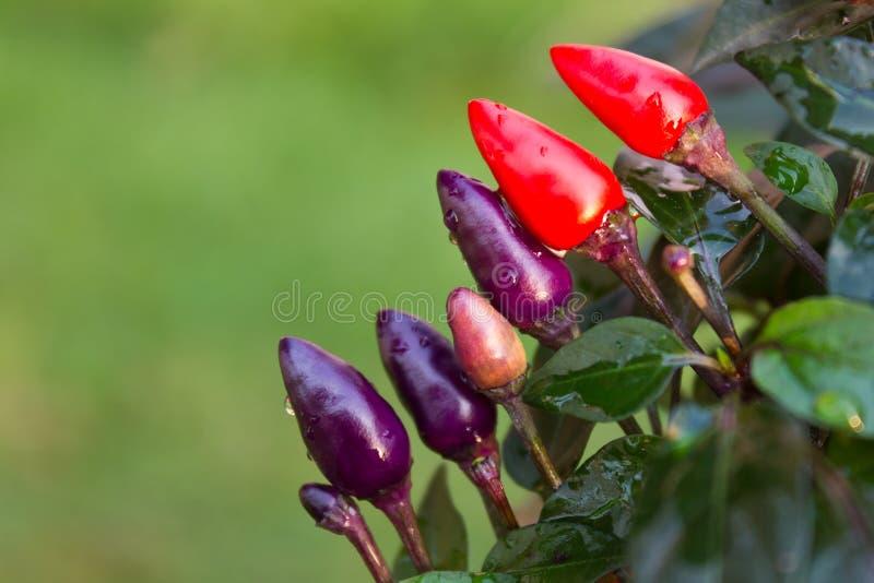 Grönsakchili med lilla lilor och rött. royaltyfri bild