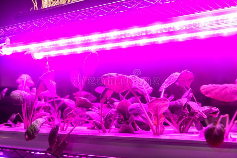 Grönsaken växer med lett ljus för växttillväxt i växthus royaltyfria bilder