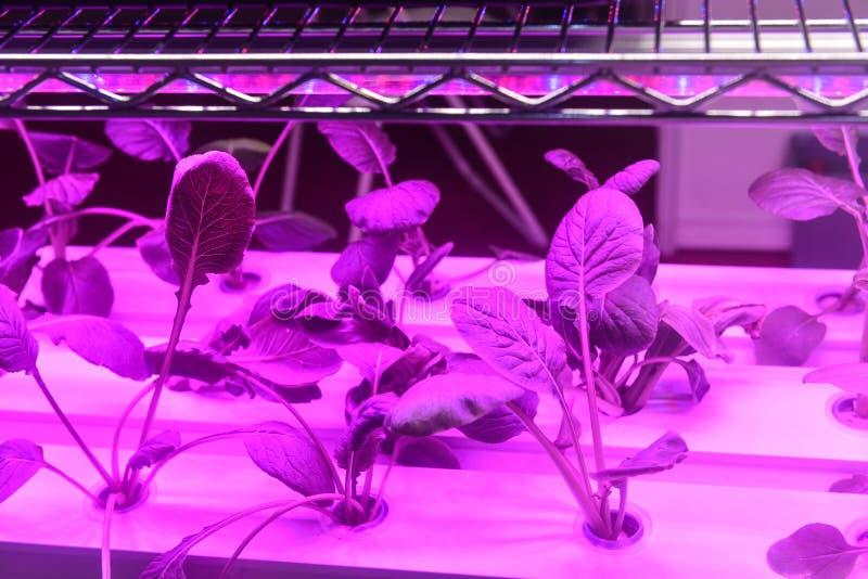 Grönsaken växer med lett ljus för växttillväxt i växthus fotografering för bildbyråer