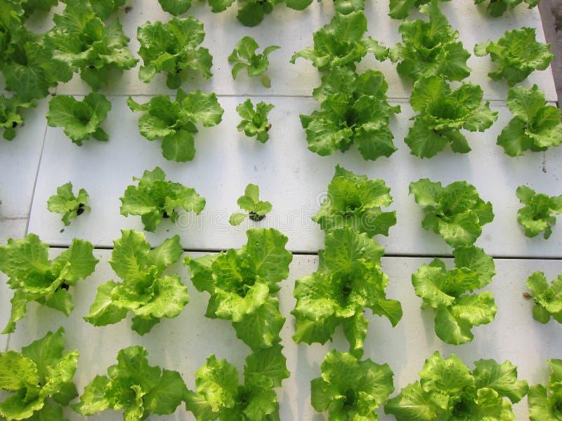 grönsaker av soilless royaltyfri fotografi