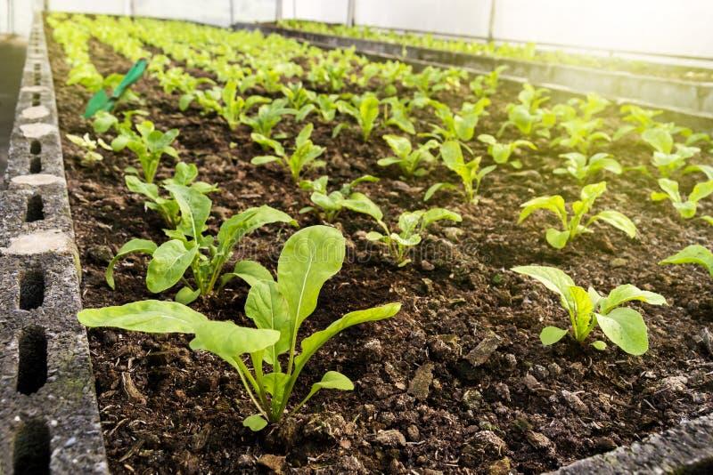 Grönsaker brukar att plantera inomhus vid icke-giftet som är organiskt med beauti royaltyfria bilder