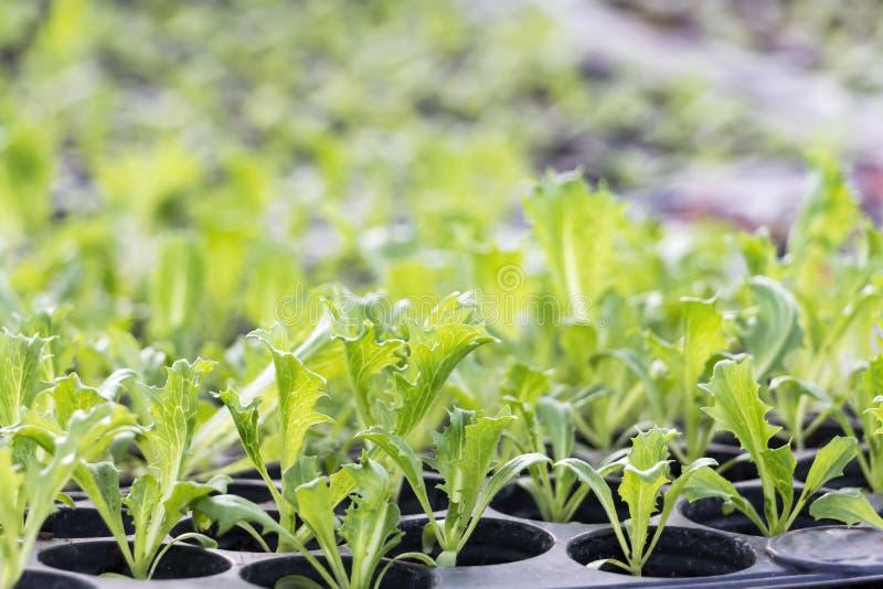 Grönsaker brukar att plantera inomhus vid icke-giftet som är organiskt med härliga gröna sidor, är fullvuxna för sund mat för sal arkivfoton