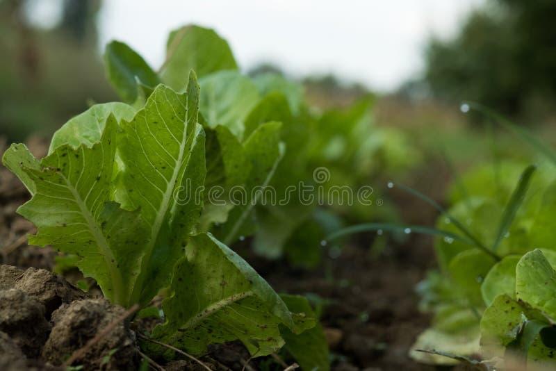 Grönsaker i vår lantgård under soluppgång royaltyfri foto
