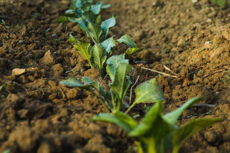 Grönsaker i vår lantgård under soluppgång fotografering för bildbyråer