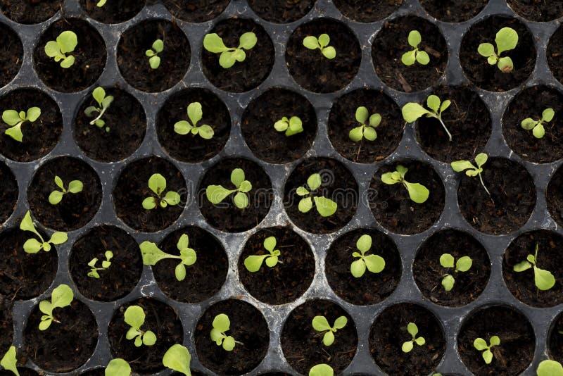 Grönsaklantgården som inomhus planterar vid icke-giftet som är organiskt med härliga gröna blad, är fullvuxen för sallad Åkerbruk arkivfoto
