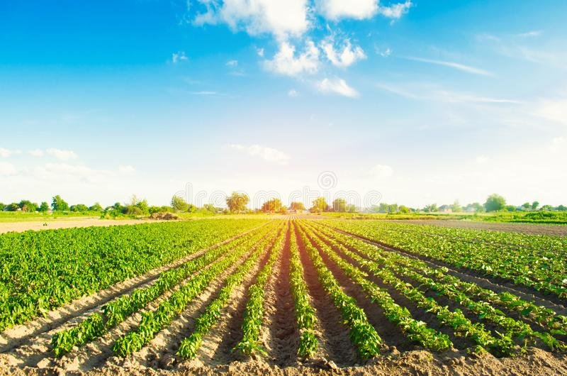 Grönsakrader av peppar växer i fältet Lantbruk jordbruk Landskap med jordbruks- land royaltyfri fotografi