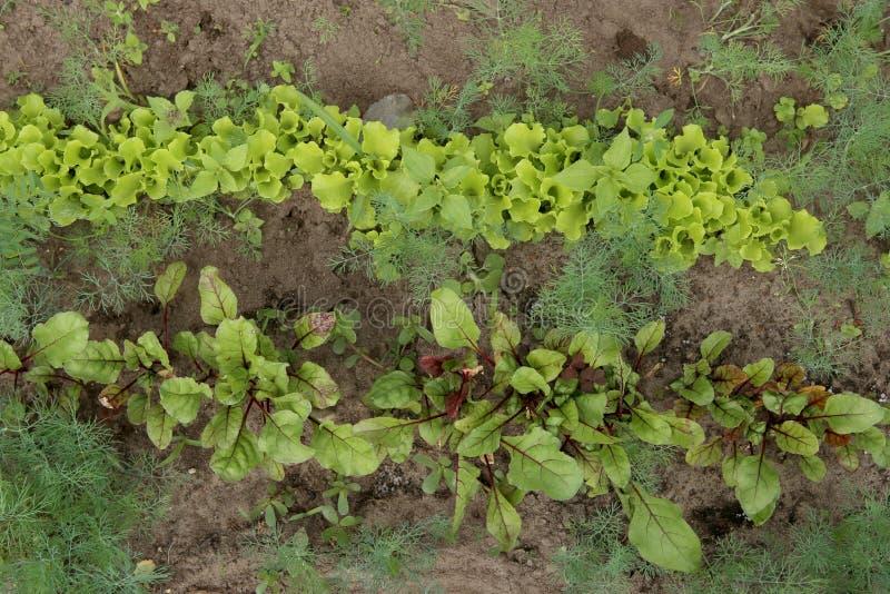 Grönsaksängar av unga rödbeta- och morotgroddar, bästa sikt arkivbild