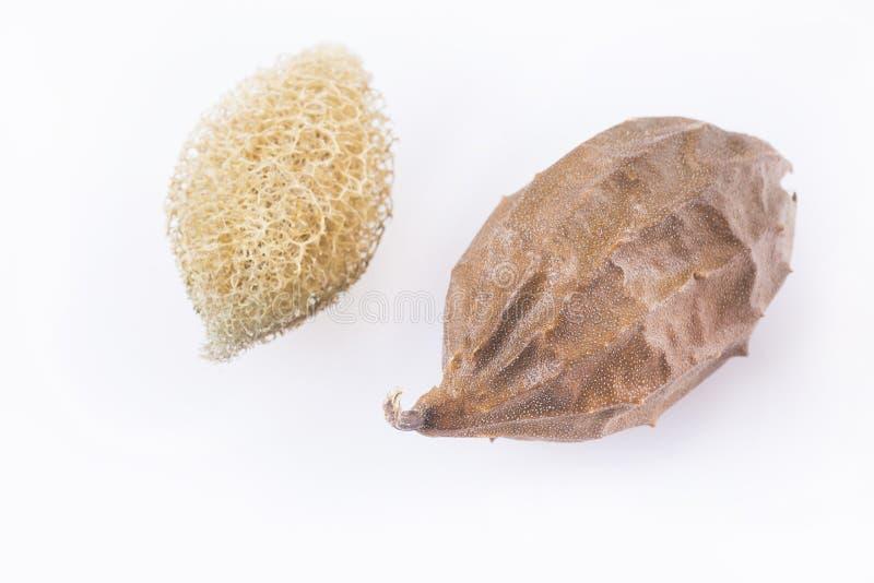 Grönsaksvamp - luffasvampoperculata Liten cylindrisk grönsaksvamp royaltyfri bild