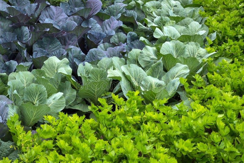 Grönsakträdgård med kål och selleri royaltyfri bild