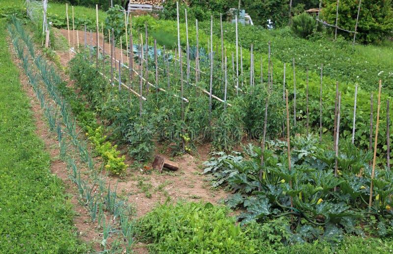 Grönsakträdgård med tomat- och zucchiniodling i sommar arkivfoto