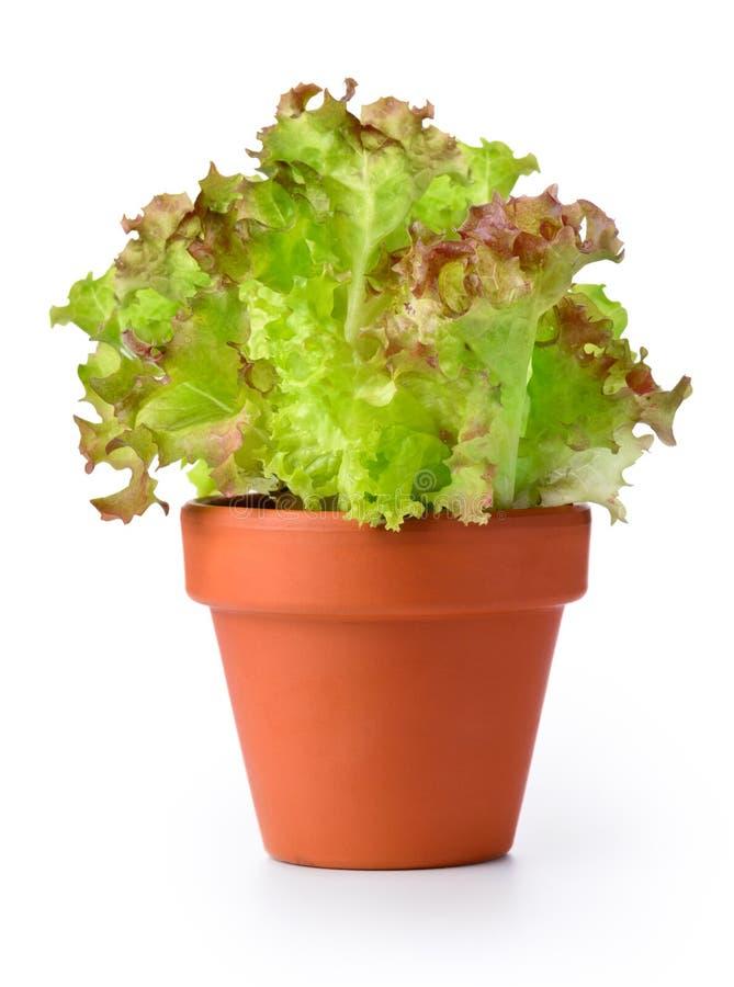 Grönsallat i en kruka royaltyfri foto