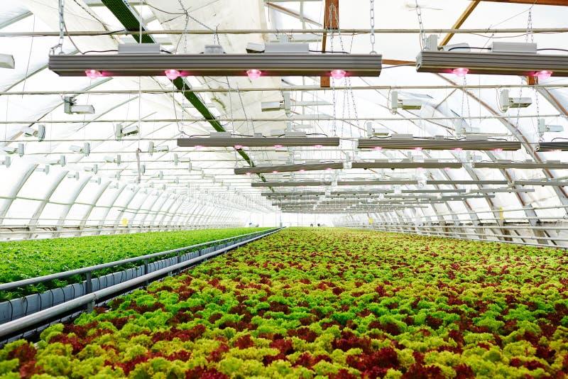 Grönsallat i växthus arkivbilder