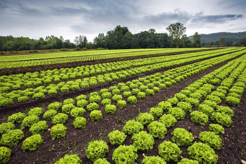 Grönsallatfält