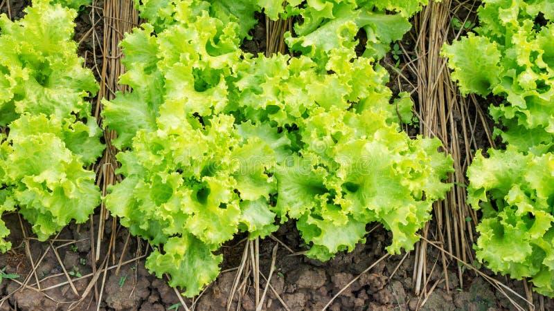 Grönsallatväxt royaltyfri fotografi