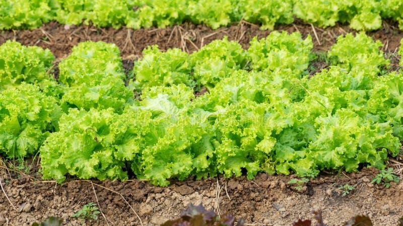 Grönsallatväxt arkivbild