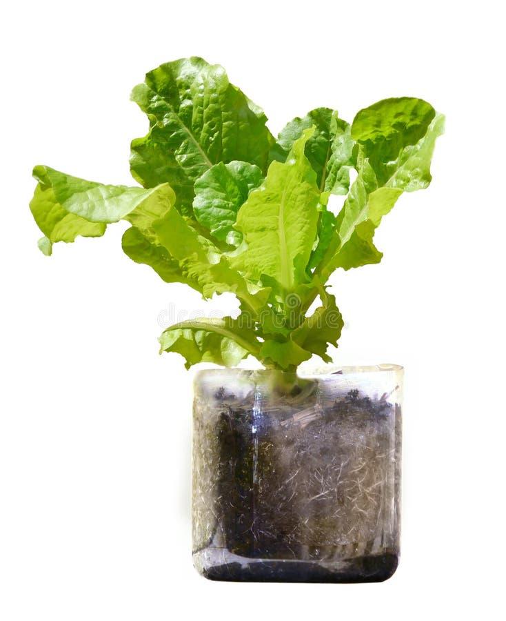 Grönsallatväxten som växer i återanvänt plast-, buteljerar royaltyfri foto