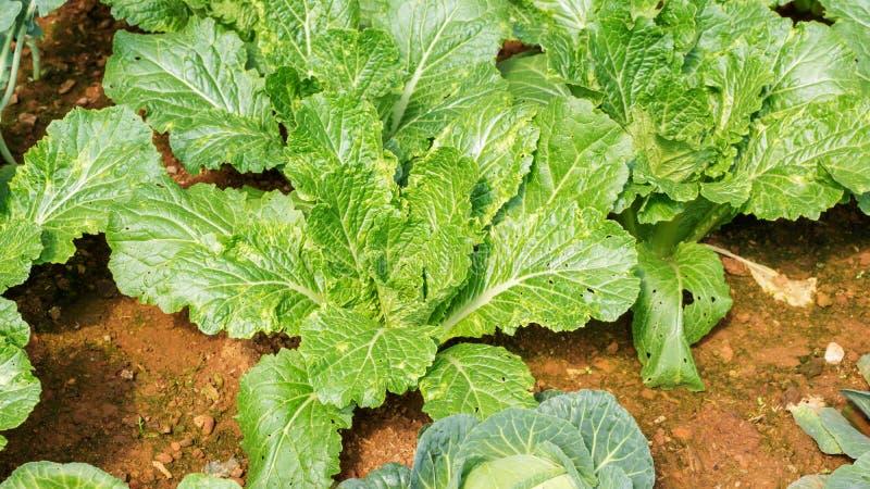 Grönsallatväxter arkivfoton