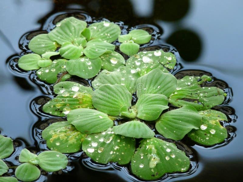 grönsallatvatten royaltyfri bild