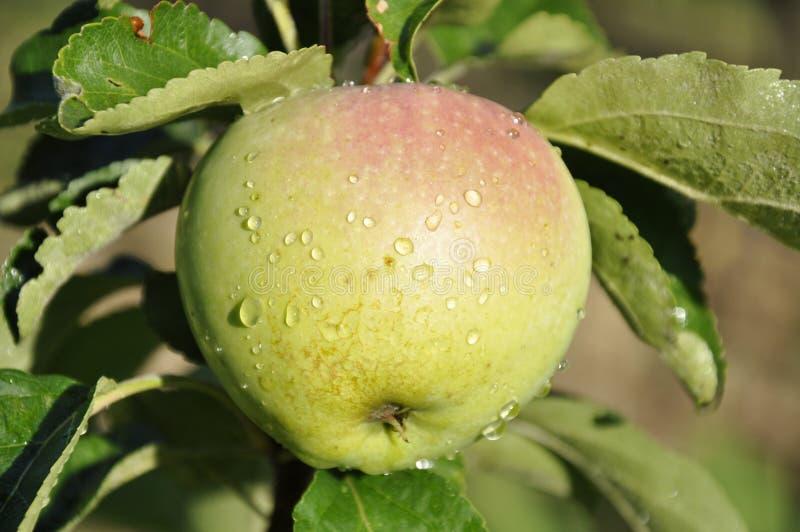 Grönt äpple i droppar av dagg arkivfoto