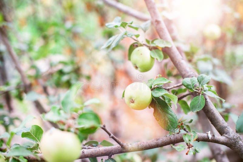Grönt äpple på en trädfilial på en härlig solig dag skivad half ananas f?r bakgrundssnittfrukt closeup royaltyfri fotografi