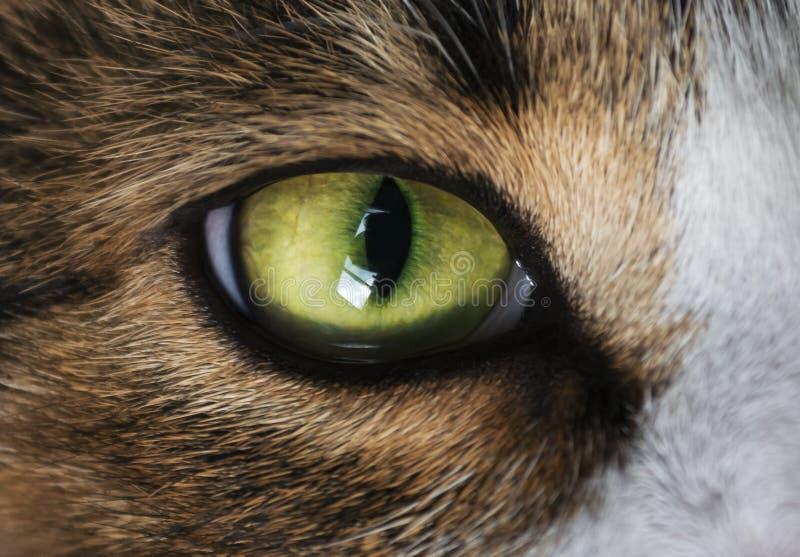 Grönt öga för katt` s royaltyfria bilder