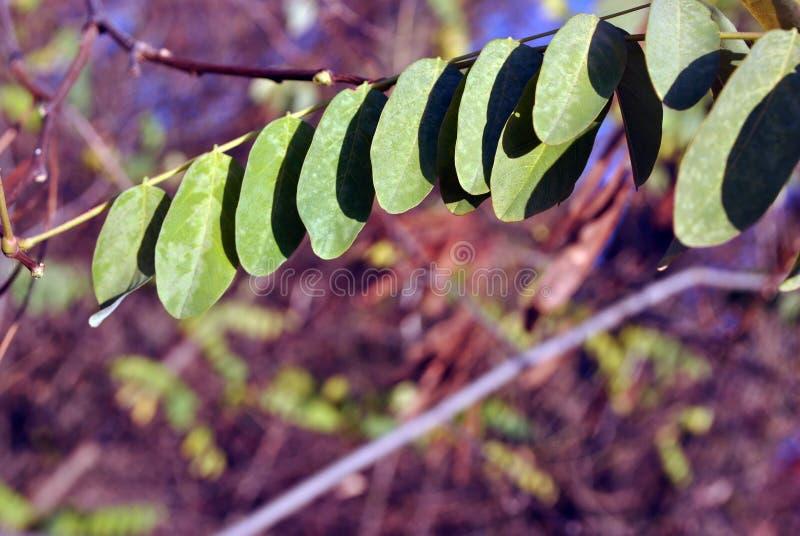 Grönt akaciablad på filialen, oskarp skogbakgrund, slut upp arkivfoto
