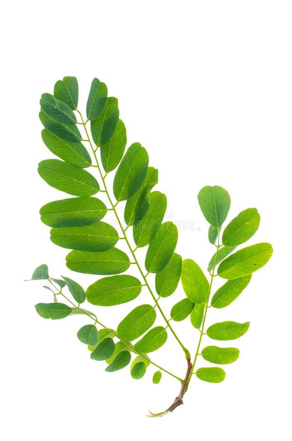 Grönt akaciablad på vit bakgrund royaltyfria bilder