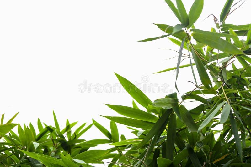 Grönt bambublad, grön tropisk lövverktextur som isoleras på vit bakgrund av mappen med den snabba banan arkivbilder