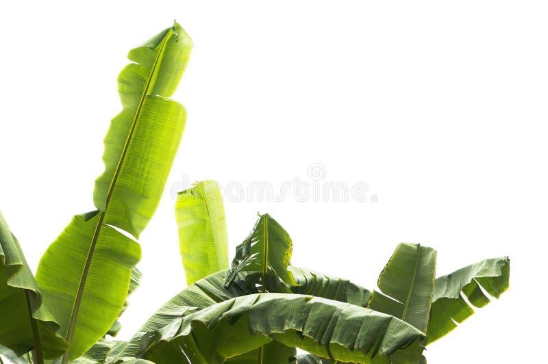 Grönt bananblad, grön tropisk lövverktextur som isoleras på vit bakgrund av mappen med den snabba banan royaltyfria foton