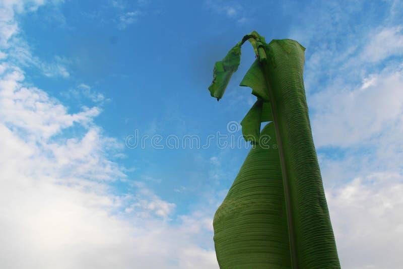 Grönt bananblad med en ljus bakgrund för blå himmel royaltyfri foto