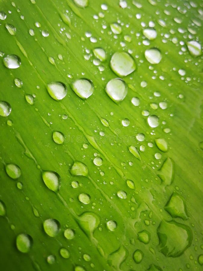 Grönt bananblad med vattendroppe arkivbild