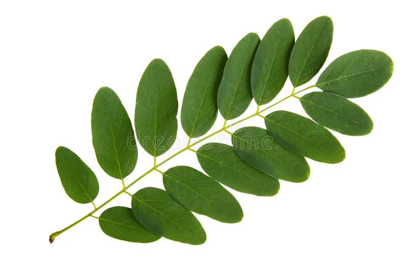 Grönt blad av akaciaträdet arkivfoton