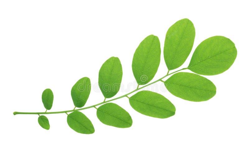 Grönt blad av akaciaträdet som isoleras på vit bakgrund royaltyfri foto