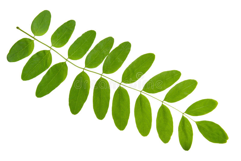 Grönt blad av akaciaträdet som isoleras på vit bakgrund royaltyfri fotografi