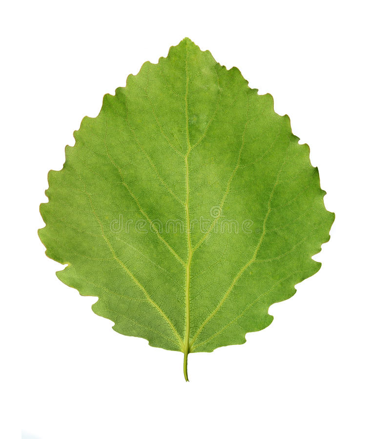 Grönt blad av aspen royaltyfri bild