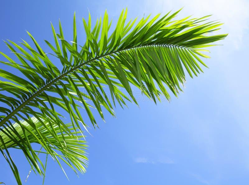 Grönt blad av barrträdet royaltyfria bilder