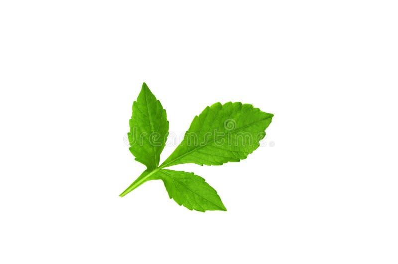Grönt blad av dahliablomman isolate arkivfoto