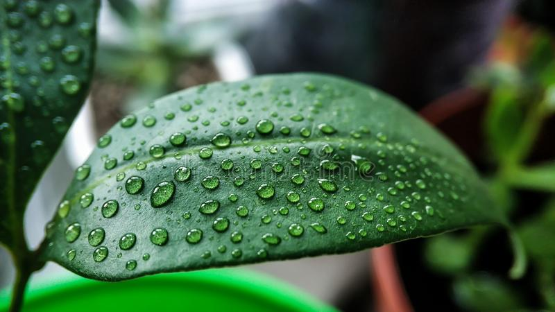 Grönt blad av det hemlagade litchiplommonträdet i vattendroppar tätt upp mot andra växter arkivfoton