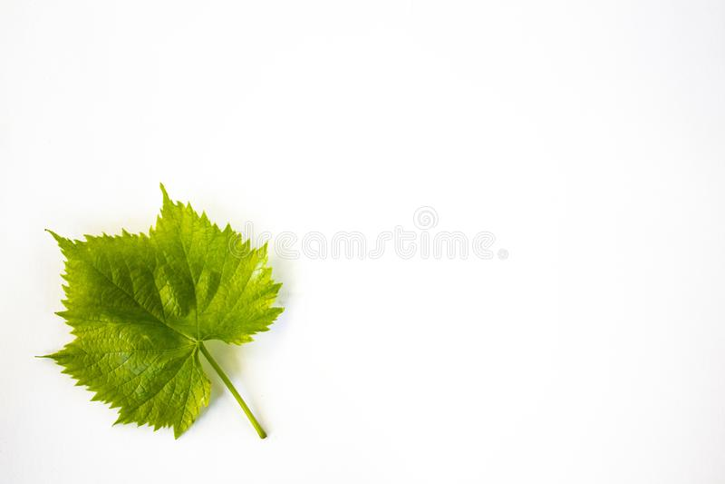 Grönt blad av druvor som isoleras på vit bakgrund arkivbilder