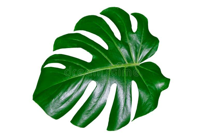 Grönt blad av en tropisk blommamonstera royaltyfria bilder