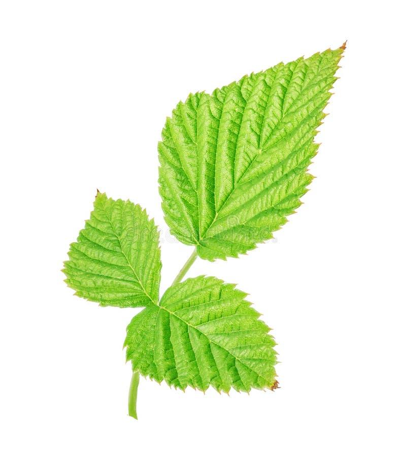 Grönt blad av hallonet solated på vit bakgrund arkivfoto