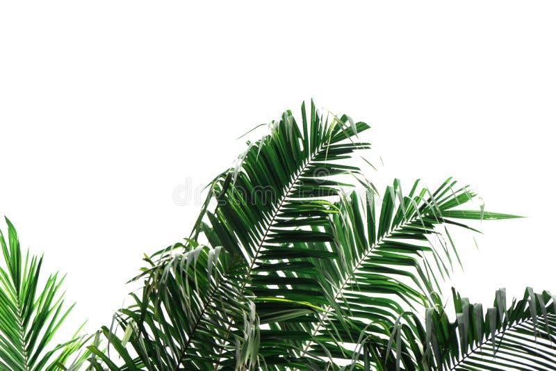 Grönt blad av kokosnötpalmträdet som isoleras på vit bakgrund av mappen med den snabba banan royaltyfri fotografi