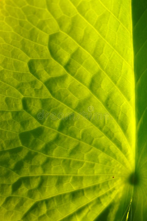 Grönt blad av lotusblommabakgrund slapp fokus royaltyfria bilder