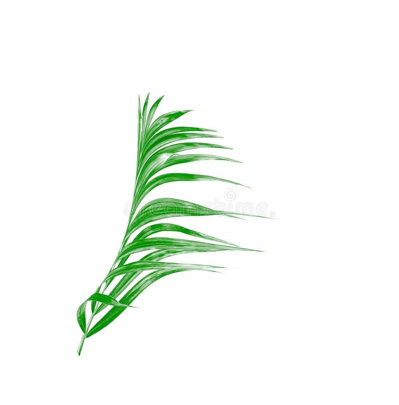 Grönt blad av palmträdet som isoleras på vit royaltyfria foton