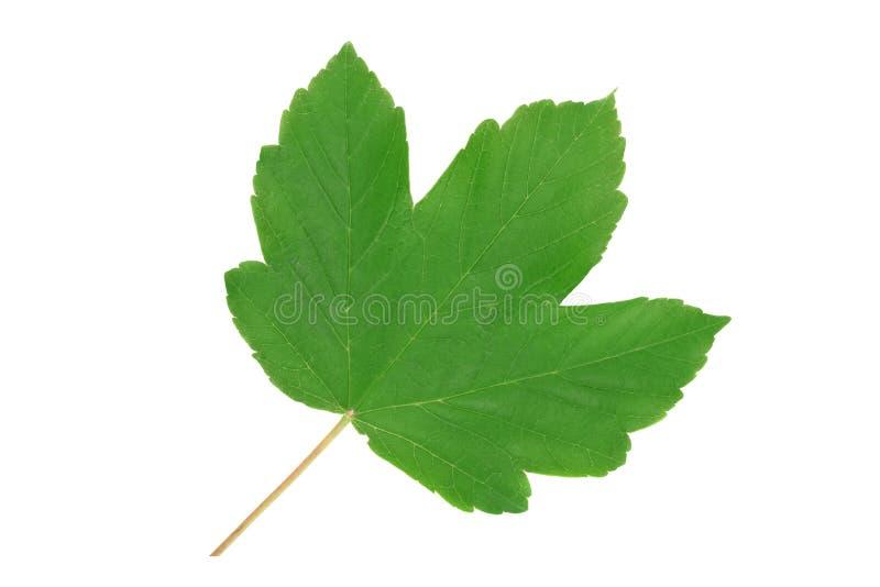 Grönt blad av sykomorlönn royaltyfri fotografi