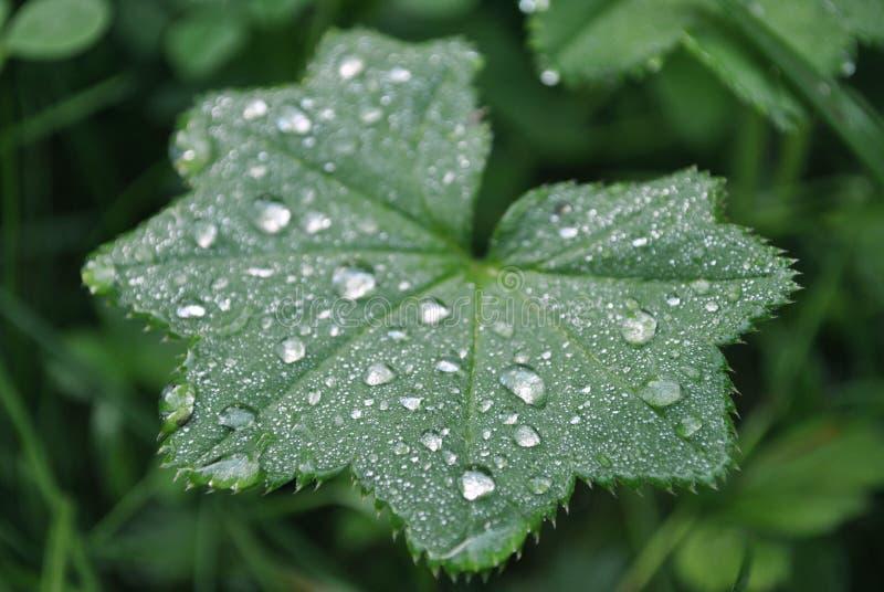 Grönt blad, dagg, ett stort plan fotografering för bildbyråer