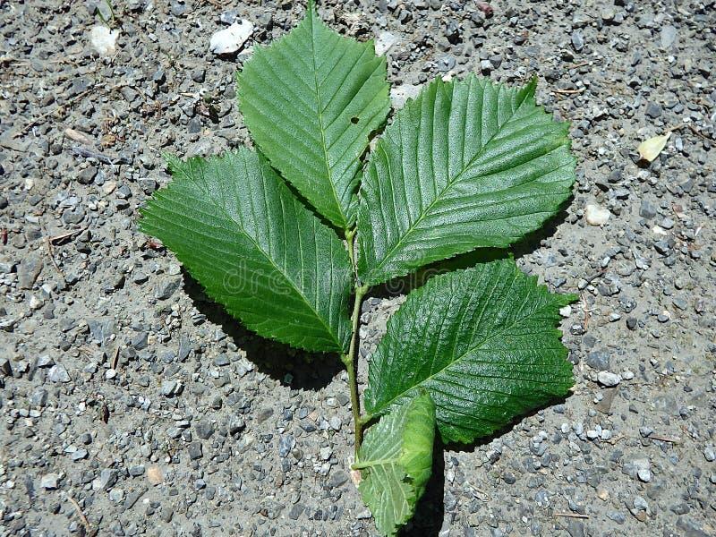 Grönt blad för alm royaltyfri fotografi