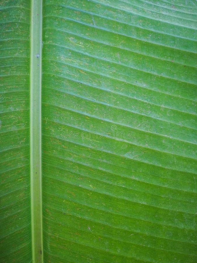 Grönt blad för banan fotografering för bildbyråer