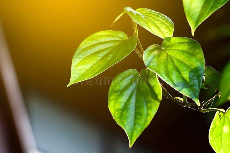 Grönt blad för Betel royaltyfria foton